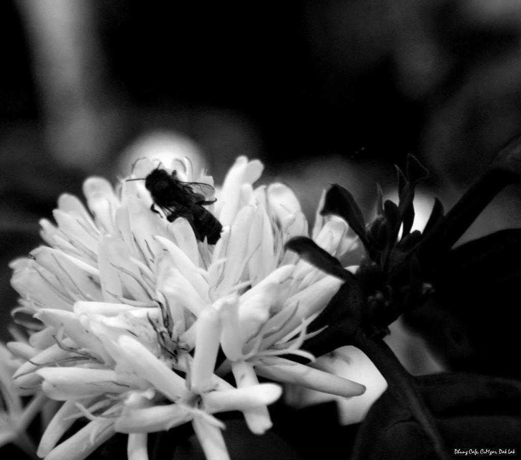 hoa cafe trắng và đen