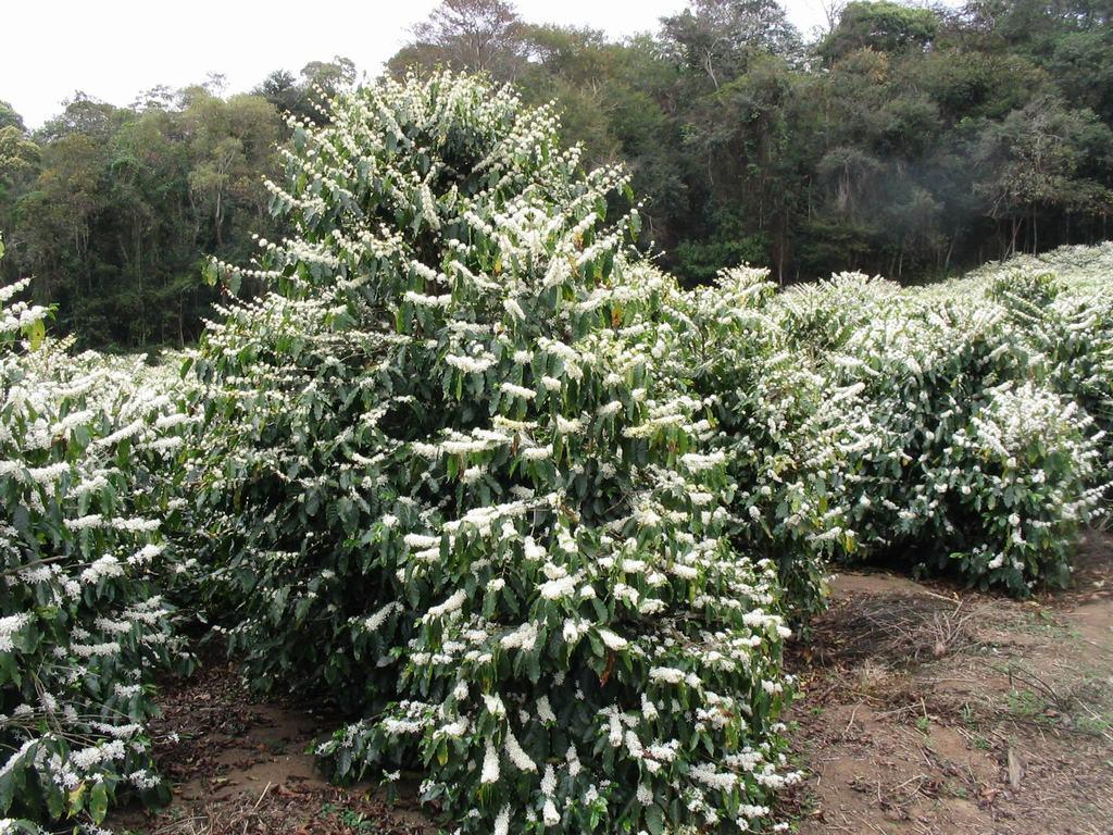 Vườn cà phê đầy hoa mang đến vụ mùa bội thu