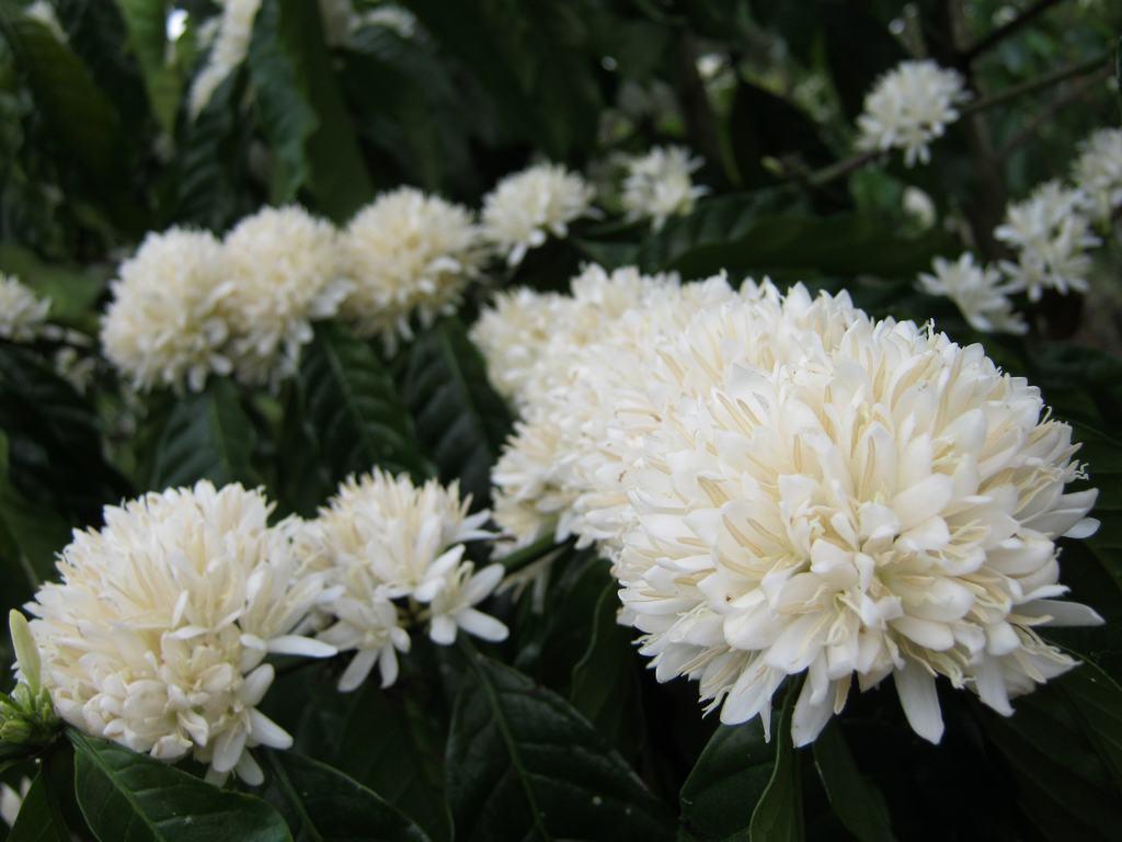 Bông hoa cà phê trắng muốt