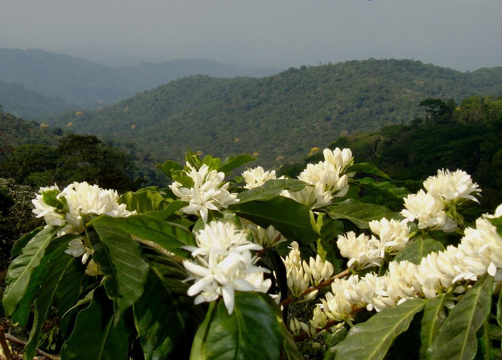 Tây nguyên đầy hoa cà phê