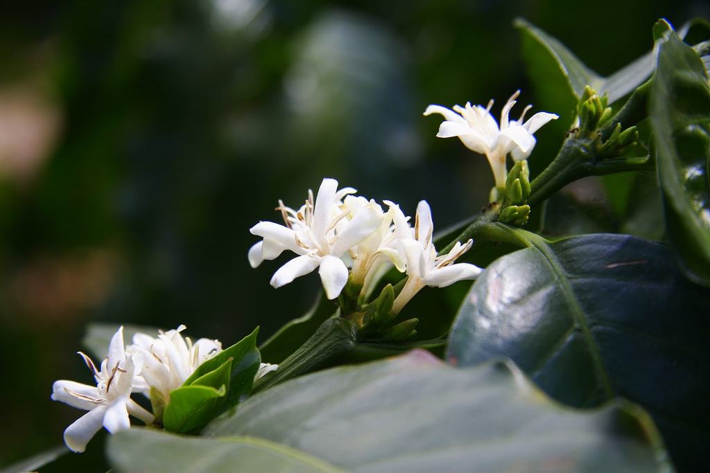 nhành hoa cafe nhỏ