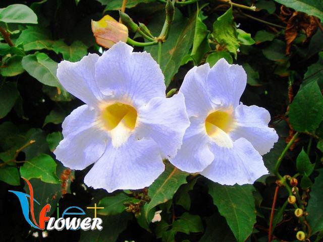 hai sắc hoa bông xanh