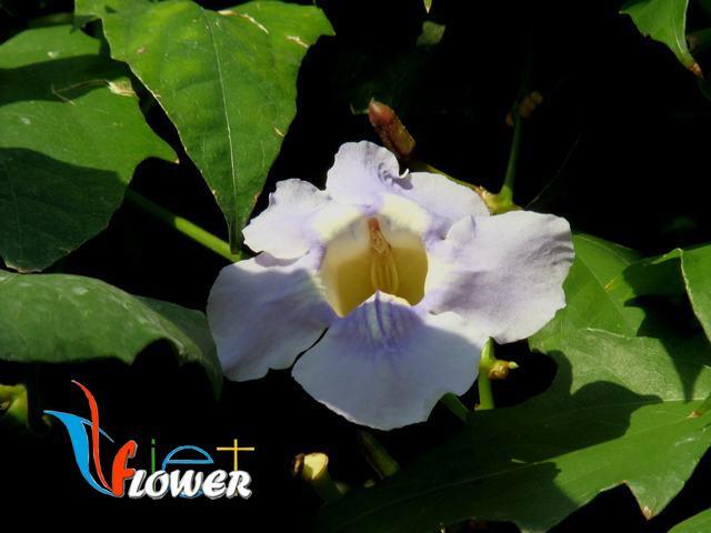 hoa bông báo