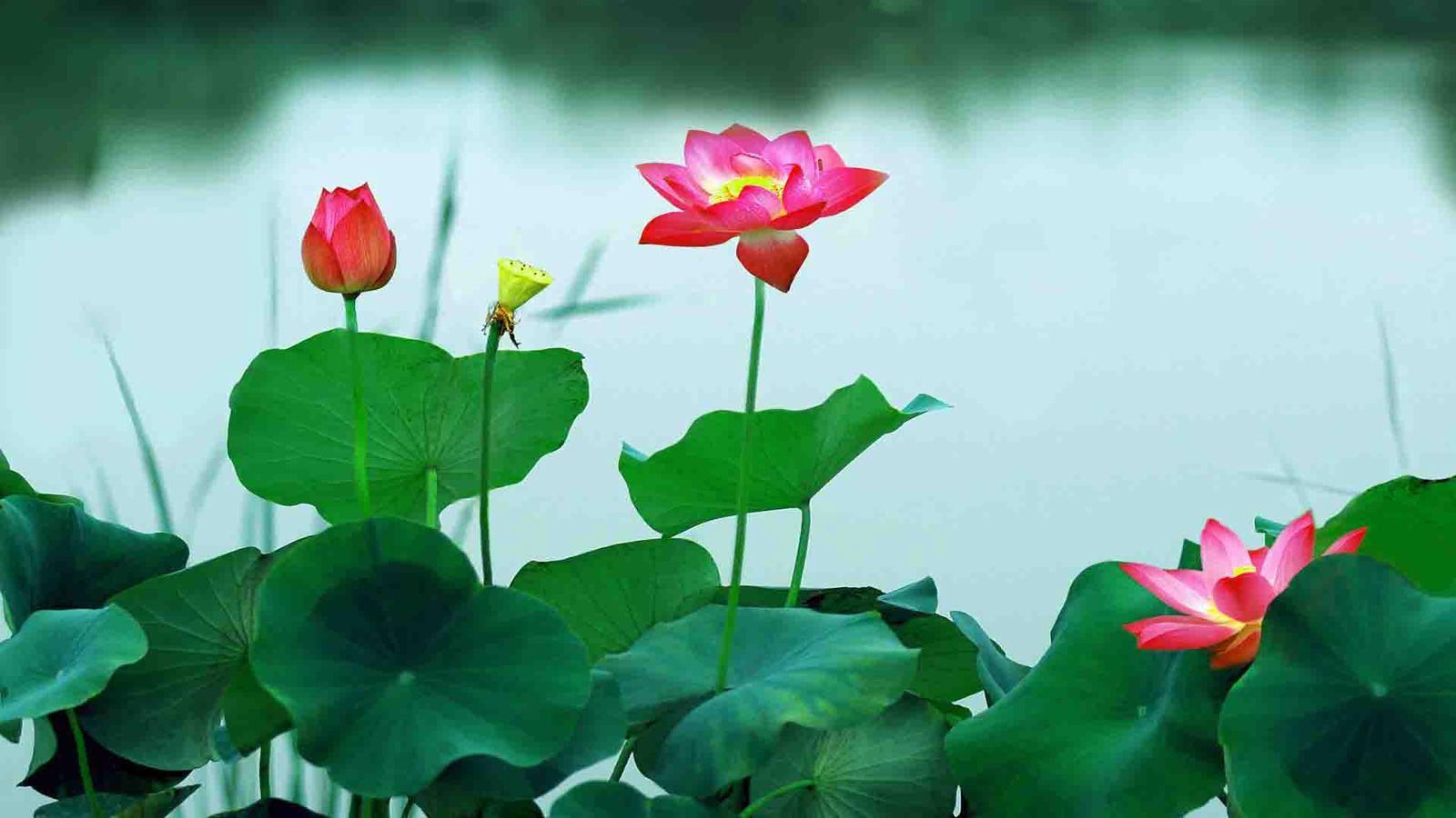 nụ, hoa, đài sen