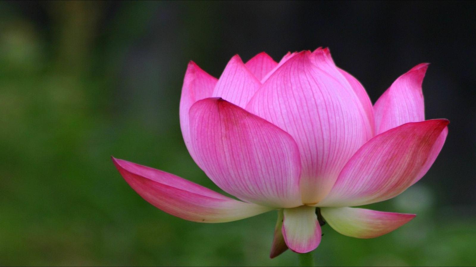 ảnh hoa sen tuyệt đẹp