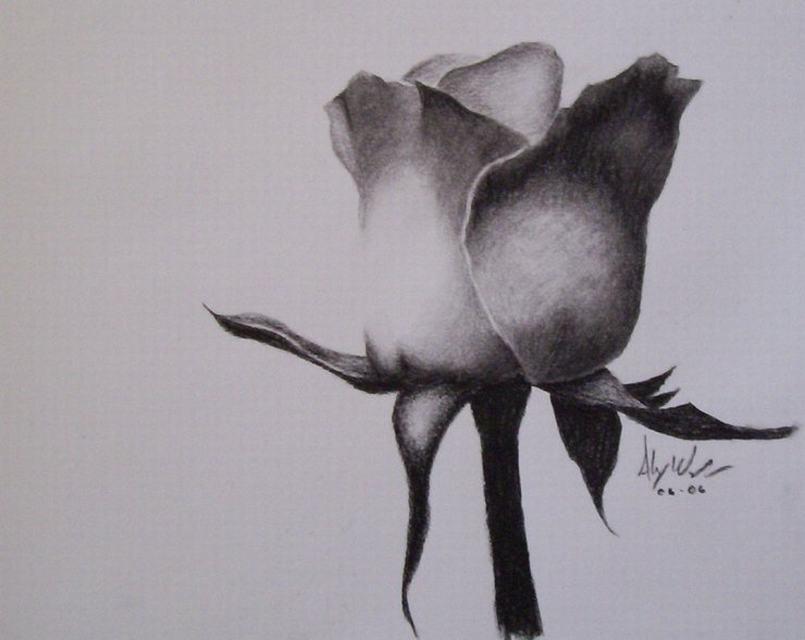 vẽ hoa hồng bằng bút chì