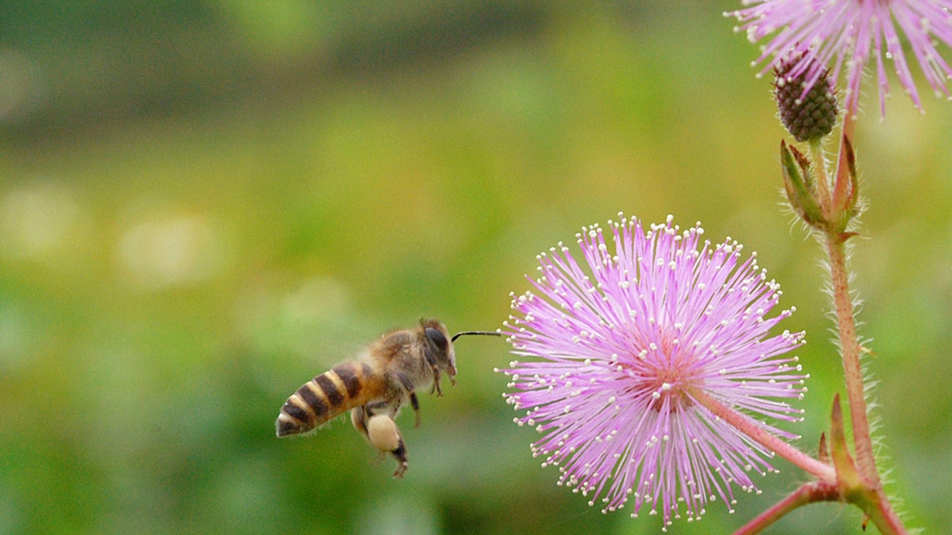 hoa trinh nữ và ong