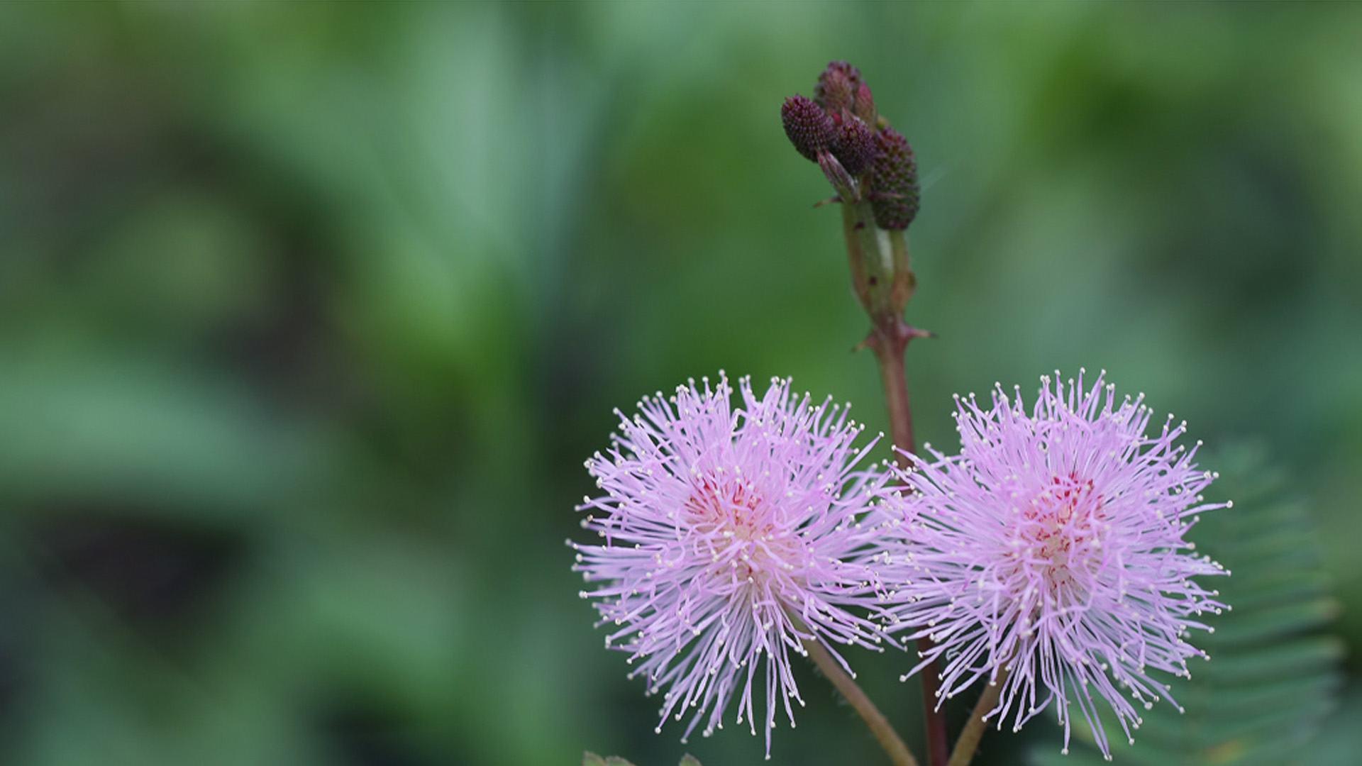 hai quả cấu hoa mắc cỡ