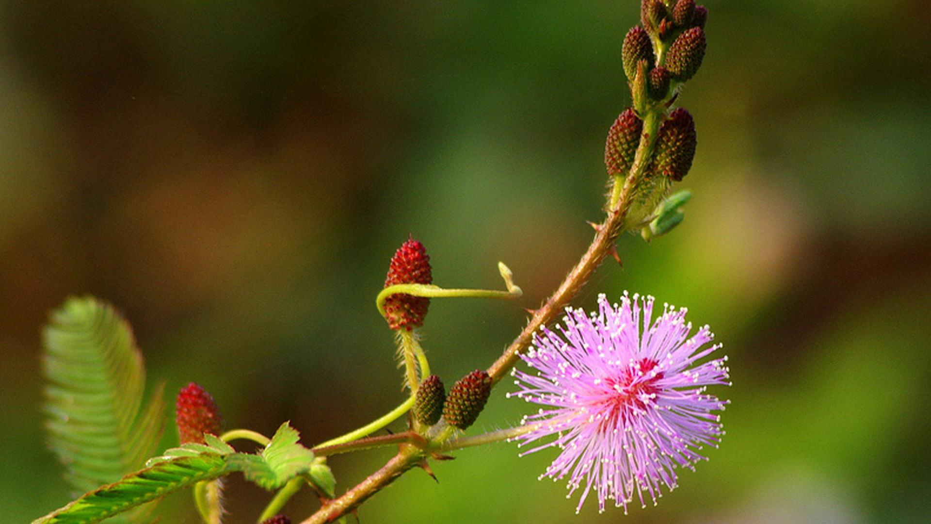 nhành hoa trinh nữ