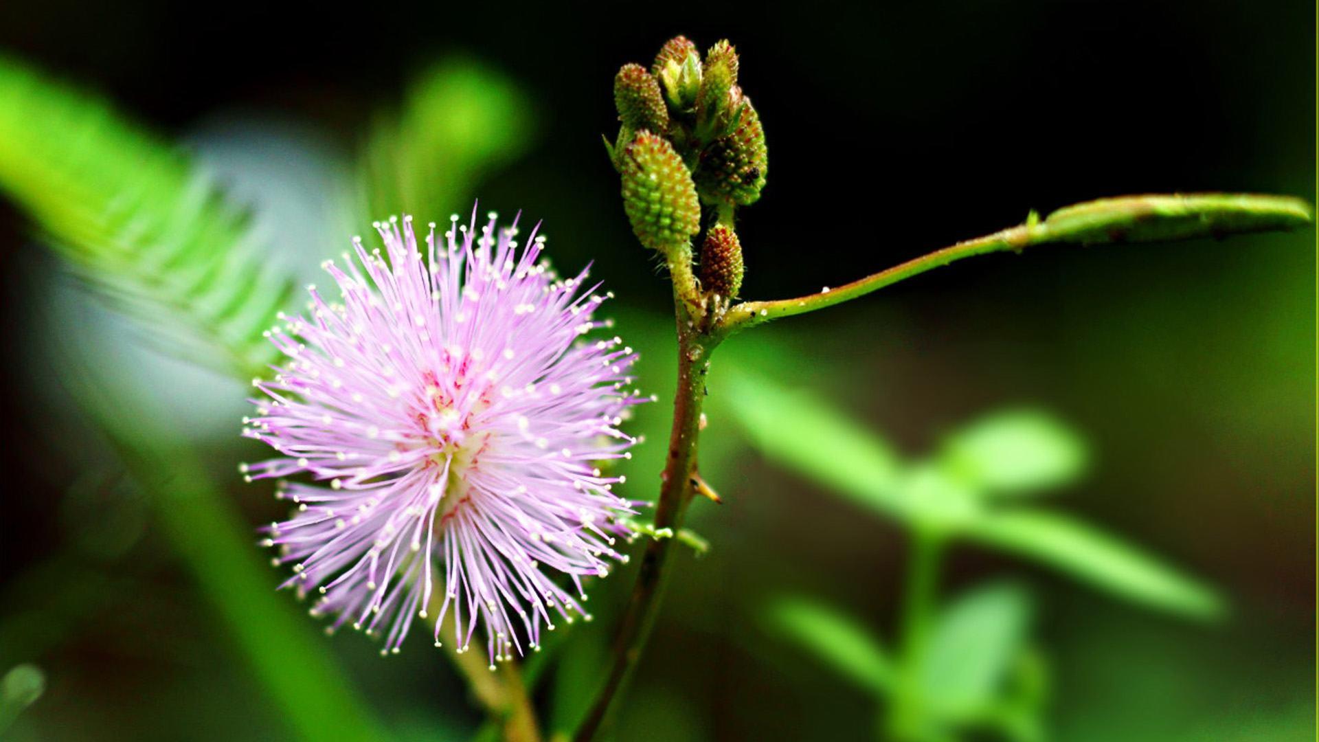 mỏng manh hoa mắc cỡ