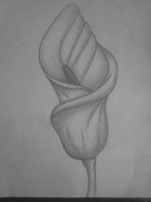 Hình vẽ hoa rum (thủy vu) bằng bút chì