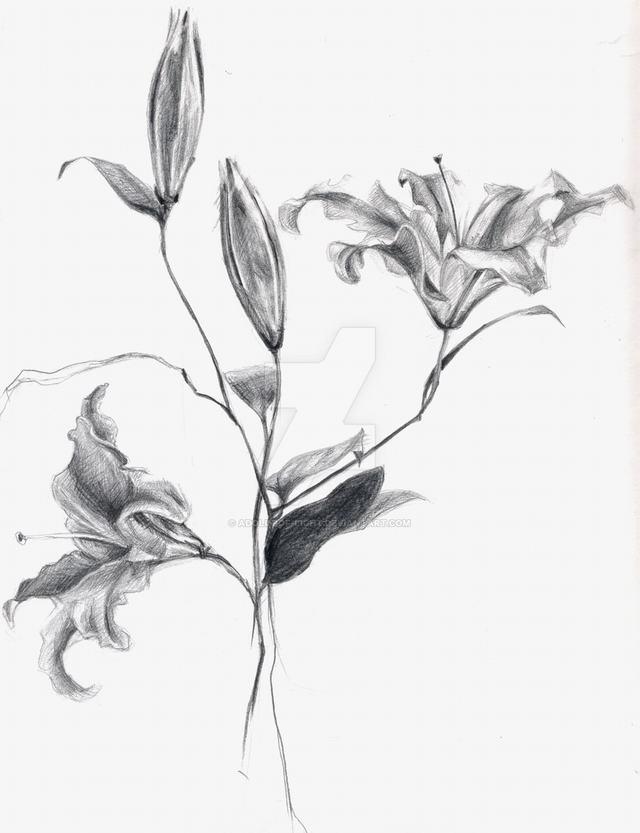 Hình vẽ hoa ly (lily) bằng bút chì