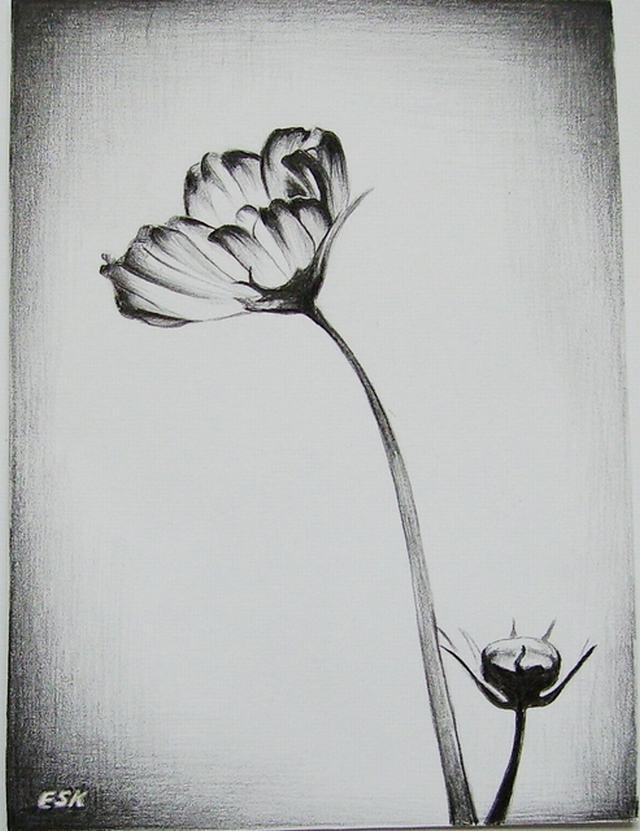 Hình vẽ hoa anh túc bằng bút chì