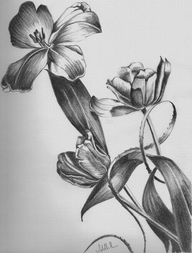 Hình vẽ hoa tulip bằng bút chì