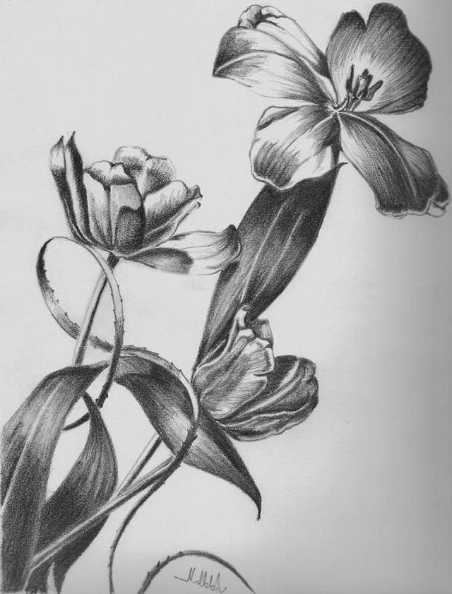 hình vẽ hoa tulip bang but chì
