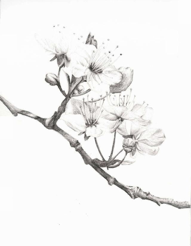 hình vẽ hoa đào bằng bút chì