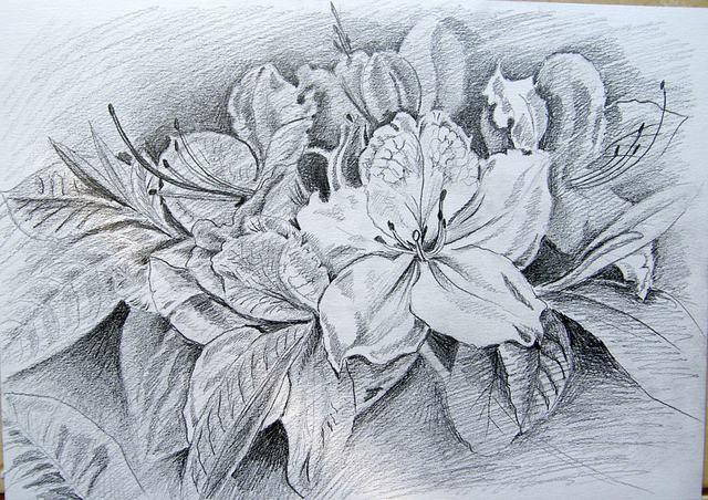 hình vẽ hoa phượng bằng bút chì