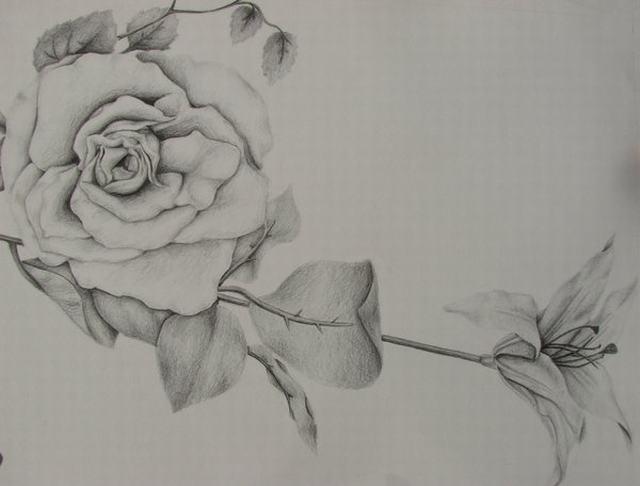 hình vẽ hoa kiều diễm bằng bút chì