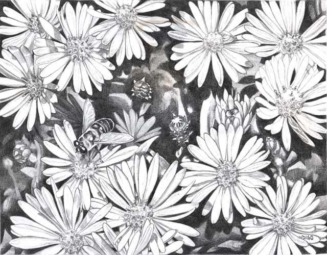 hình vẽ hoa cúc trắng bằng bút chì