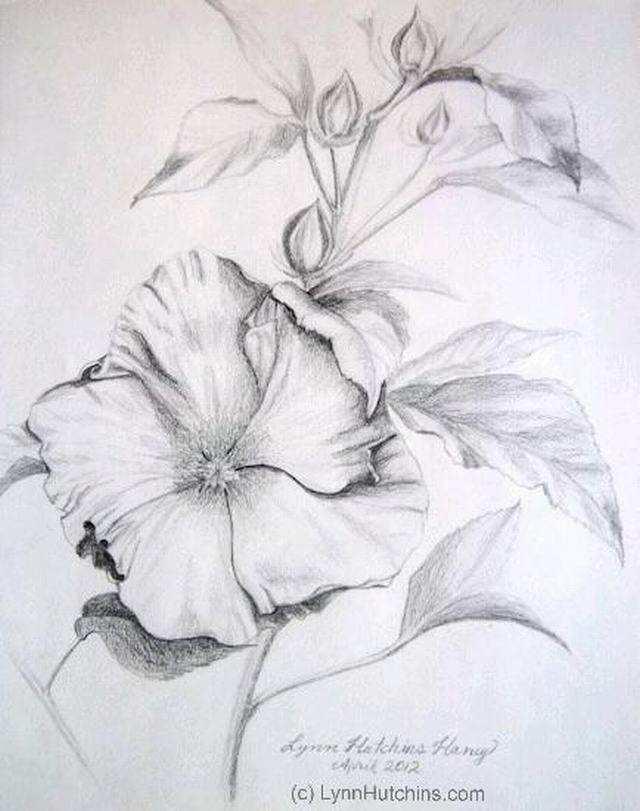 hình vẽ hoa dâm bụt bằng bút chì