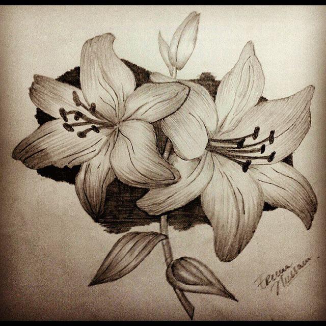hình vẽ hoa lily - ly bằng bút chì