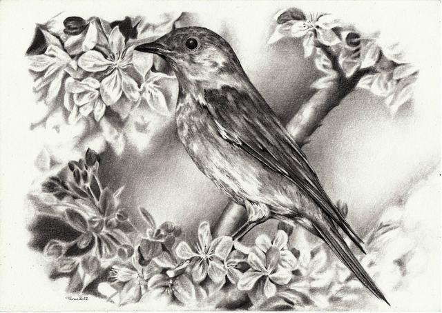 hình vẽ hoa đào và chim bằng bút chì