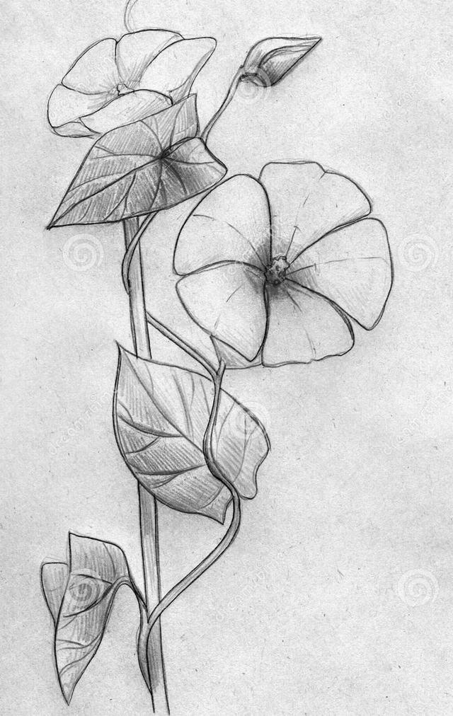 hình vẽ hoa bìm bìm bằng bút chì