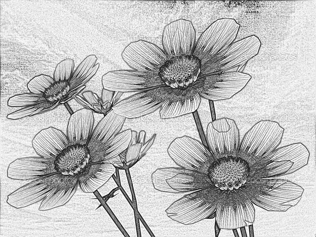 hình vẽ hoa cúc bằng bút chì