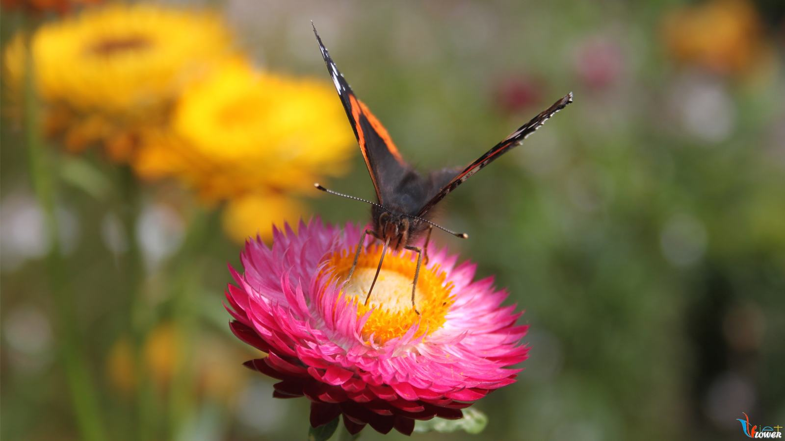 hoa bất tử và bướm