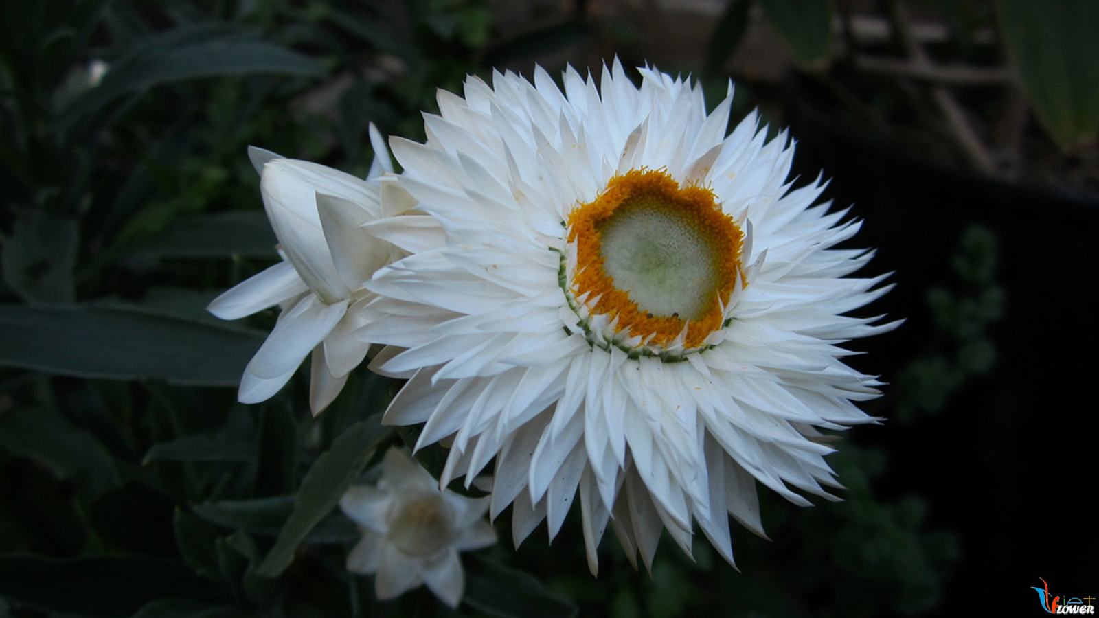 hoa-bat-tu (9)