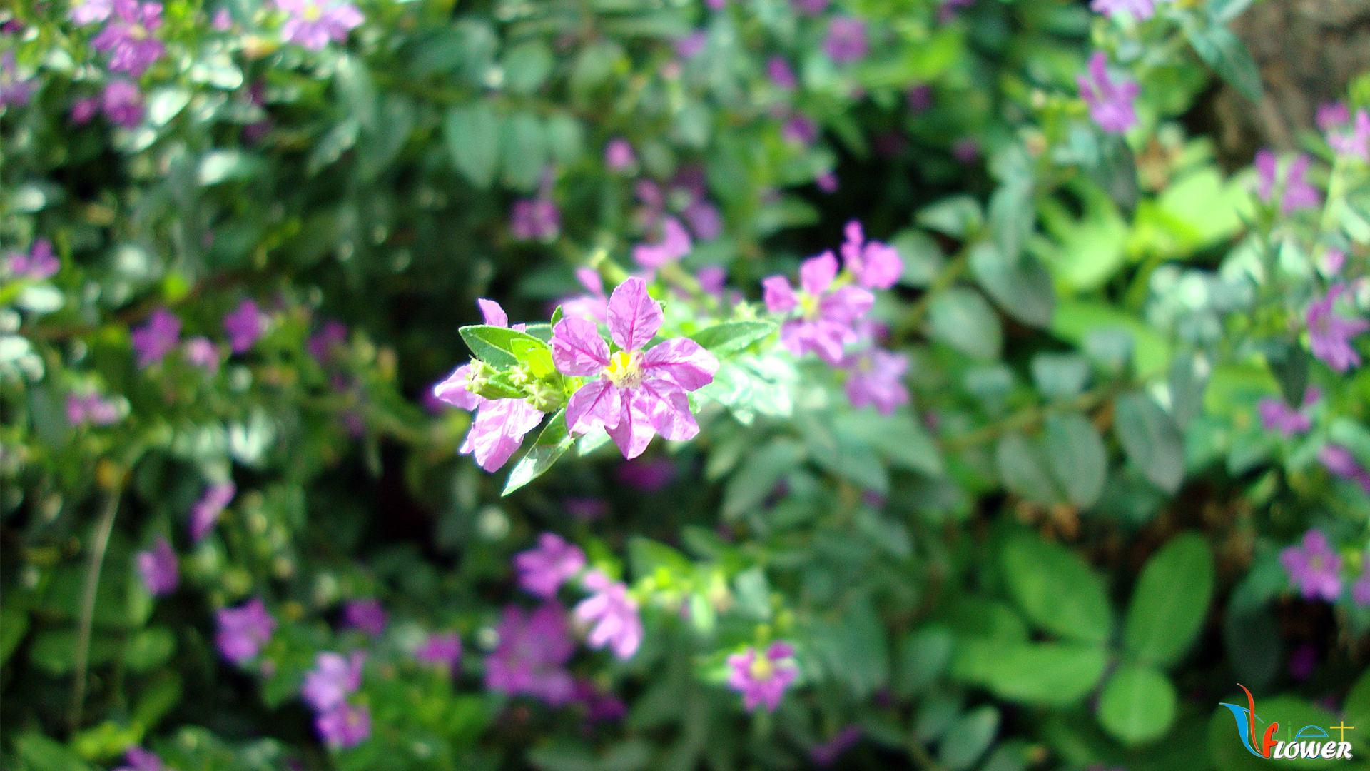 hoa-cam-tu-mai (2)