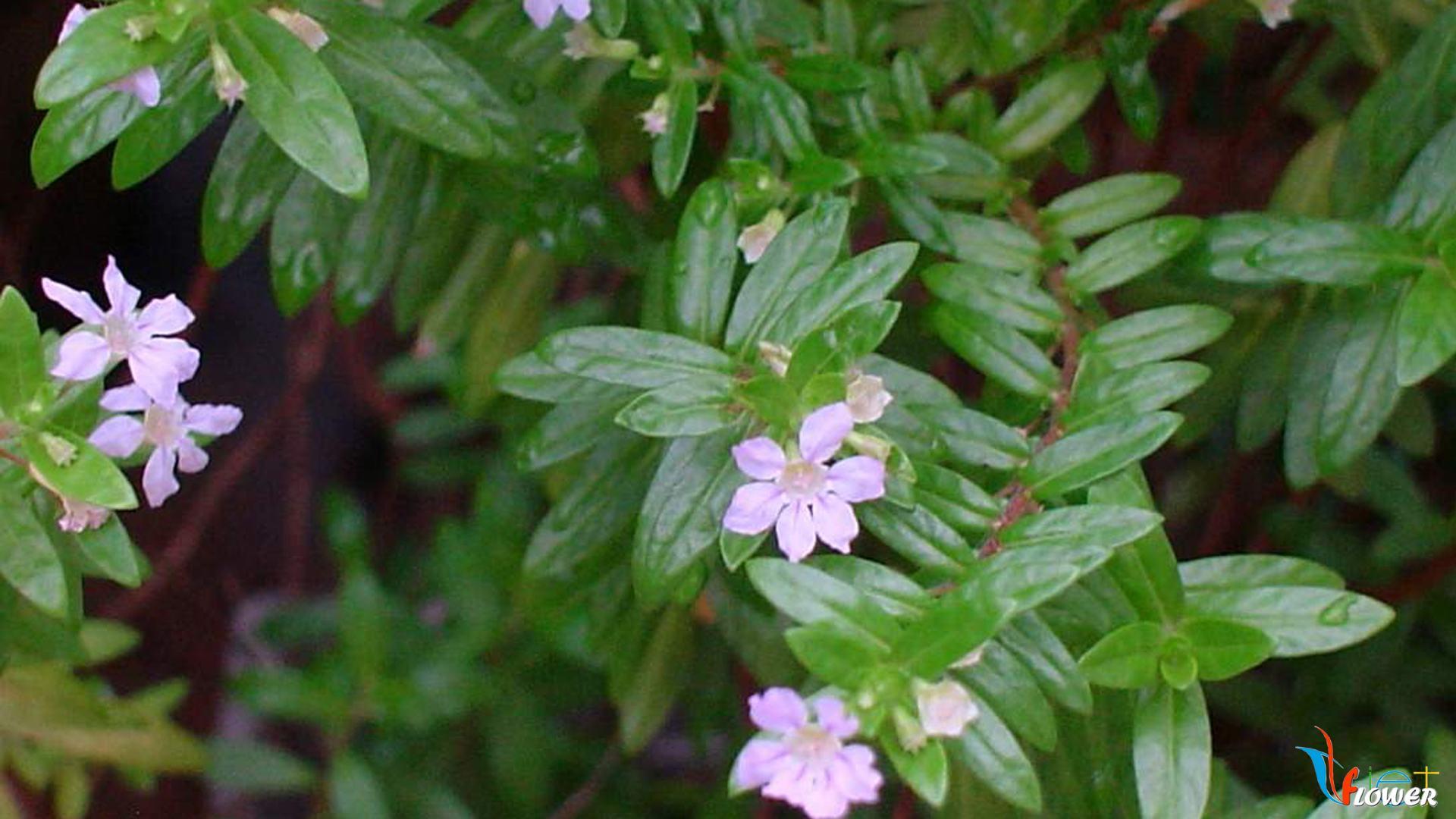 hoa-cam-tu-mai (6)