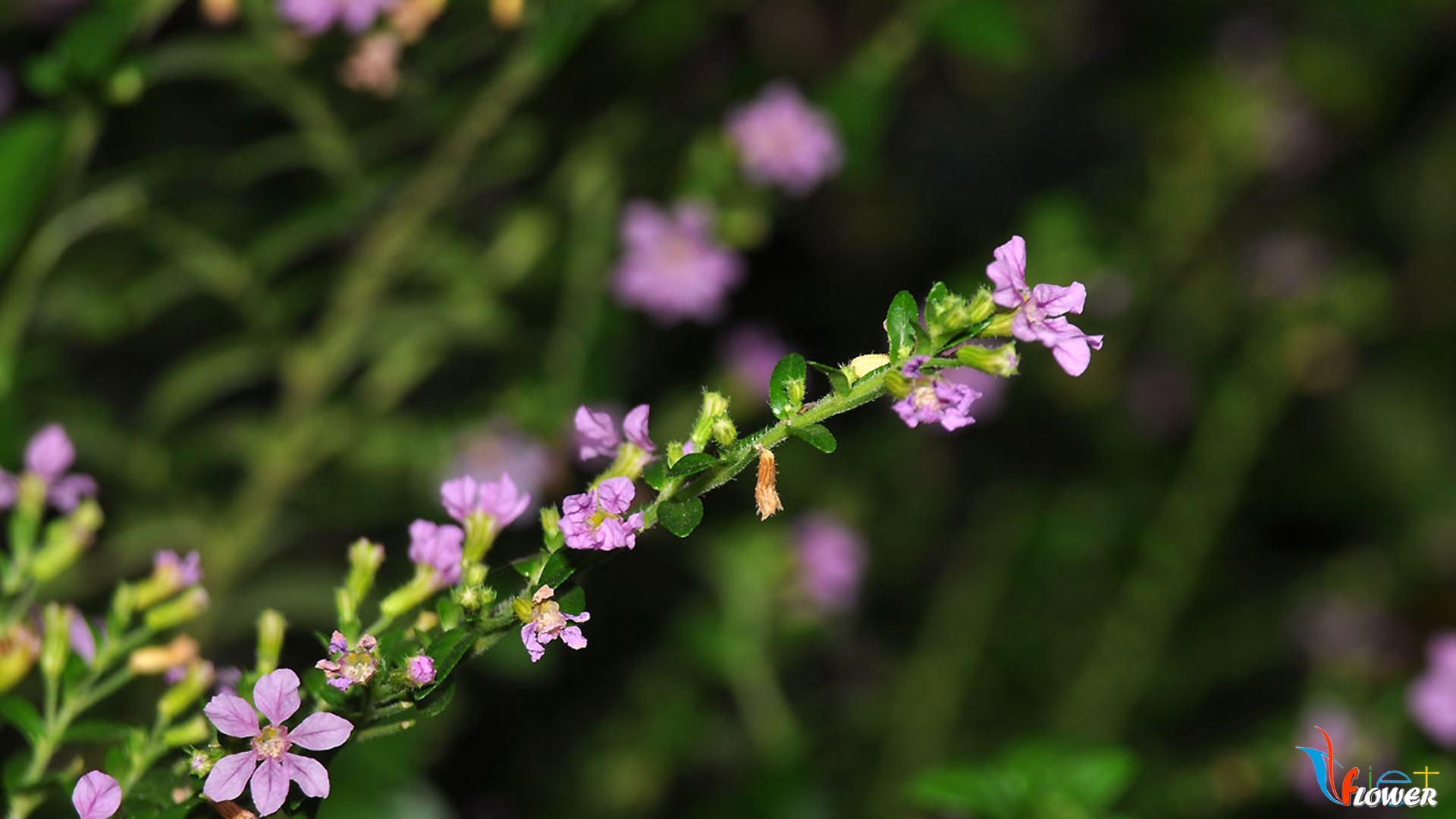 hoa-cam-tu-mai (7)
