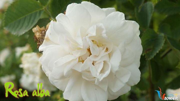01-Rosa-alba