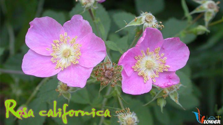 02-Rosa-californica
