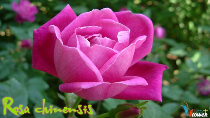04-Rosa-chinensis
