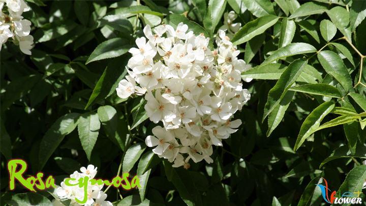 05-Rosa-cymosa