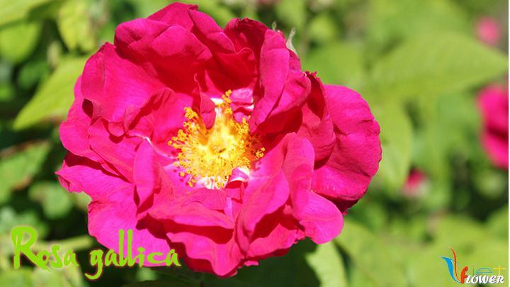 06-Rosa-gallica
