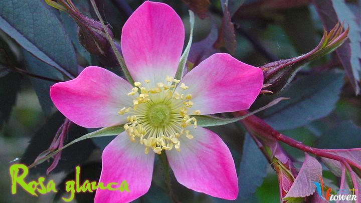 07-Rosa-glauca