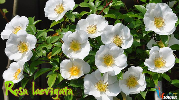 08-Rosa-laevigata