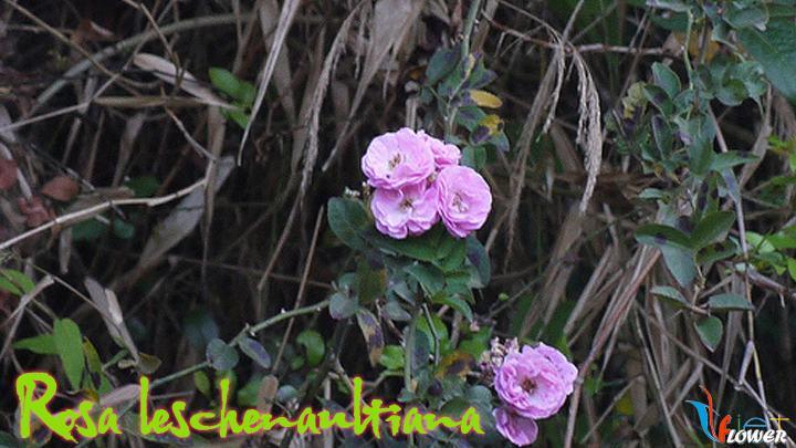 09-Rosa-leschenaultiana