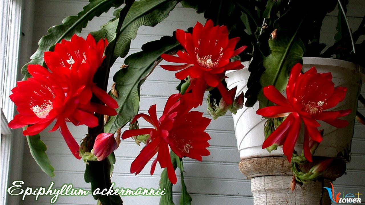 Epiphyllum-ackermannii-1