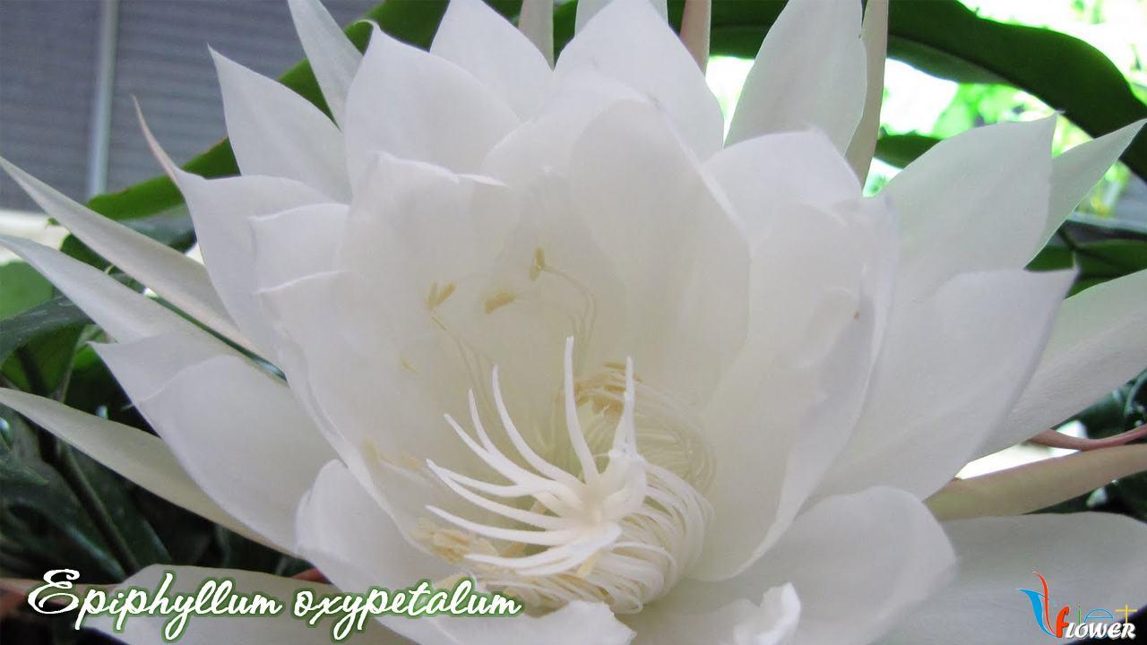 Epiphyllum-oxypetalum-1