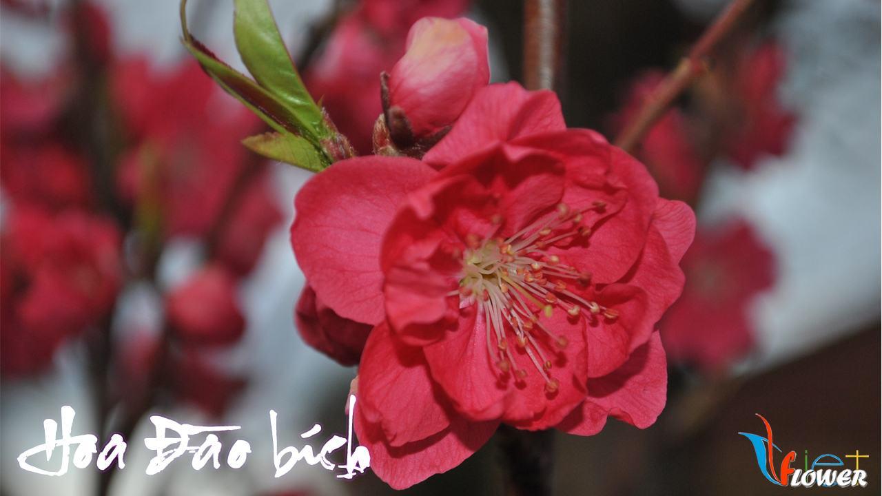 hoa-dao-bich-1