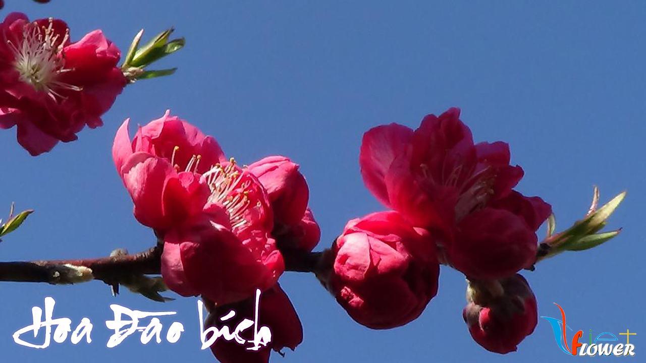 hoa-dao-bich-2