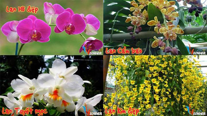 Các loài hoa lan Dalat