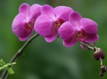 hoa lan dalat