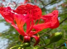 hoa phượng vĩ