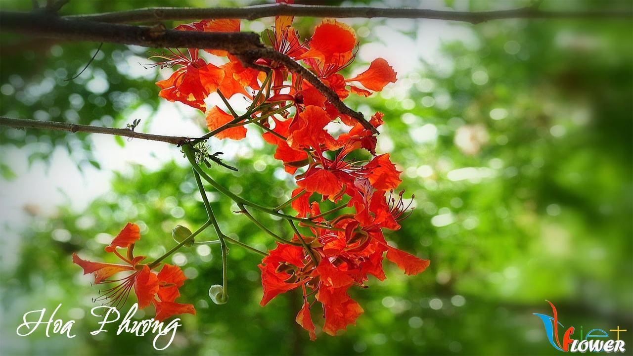 hoa-phuong