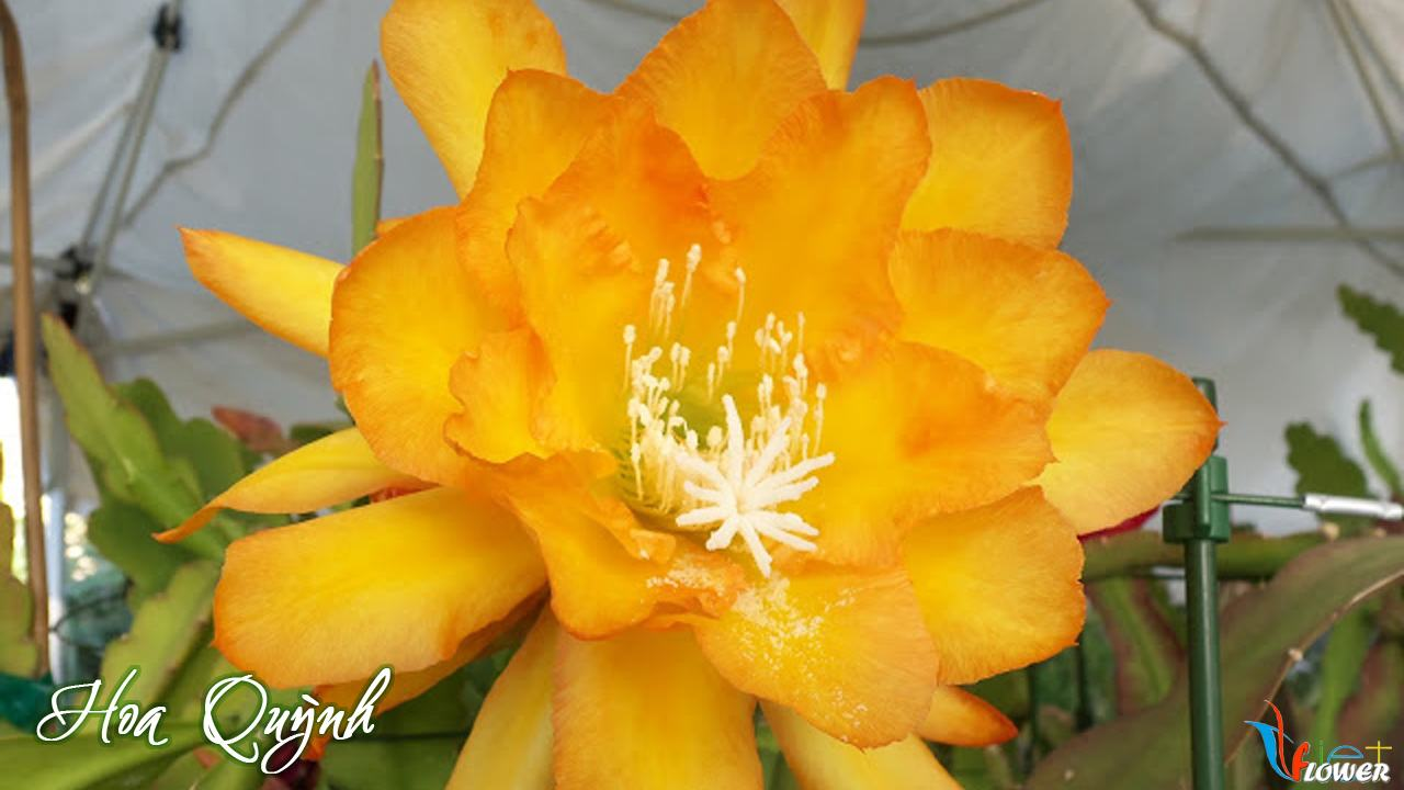 hoa-quynh-mau-cam